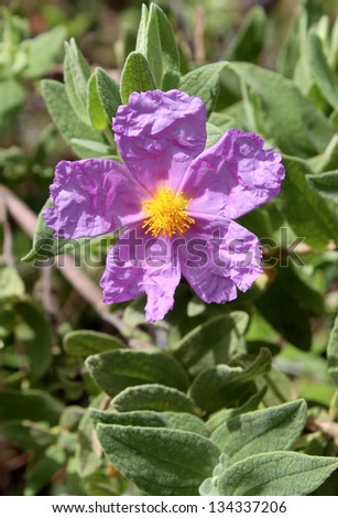 Bloom of Cistus albidus (Rock rose, Sun rose). Small shrubs of scrub and dry woodland regions of southern Europe and North Africa; grown for their flowers and soft aromatic evergreen foliage. - stock photo