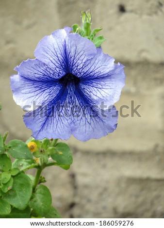 Bloomed Blue Flower - stock photo