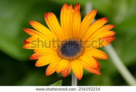 Bloomed fresh daisy flowers and leaves  - stock photo