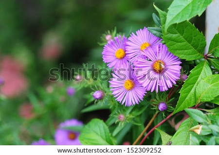 Blooming Alpine asters (Aster Alpinus) - stock photo