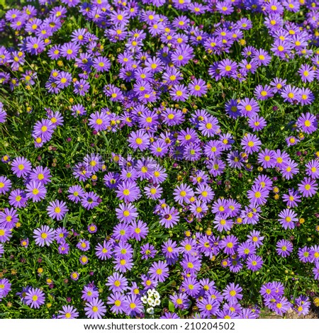 Blooming Alpine asters - Aster Alpinus flower in the garden - stock photo