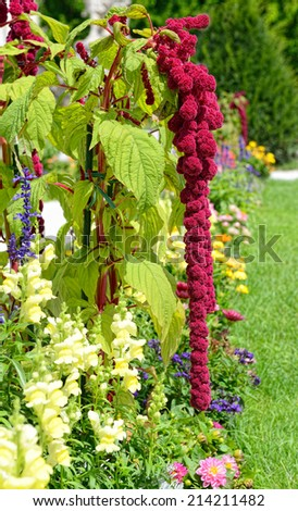 Blooming amaranthus caudatus (love-lies-bleeding ) - stock photo
