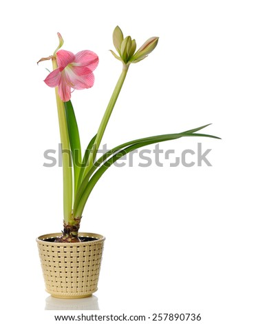 blooming amaryllis in  pot isolated on white background - stock photo