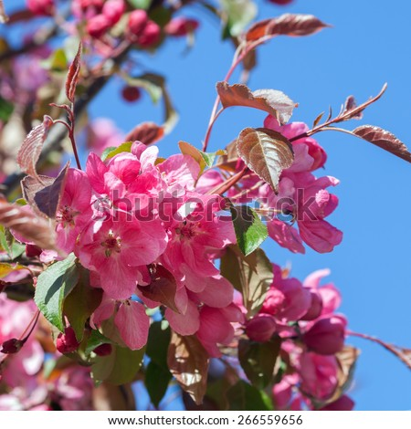 Blooming apple branch against blue sky - stock photo