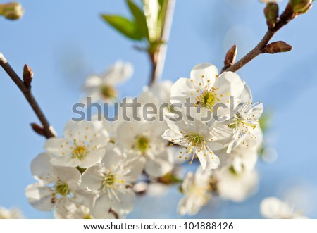 Blooming apple tree; beautiful white blossoms against blue sky, shallow field - stock photo