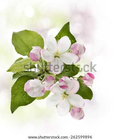 Blooming Apple Tree In Spring Time - stock photo