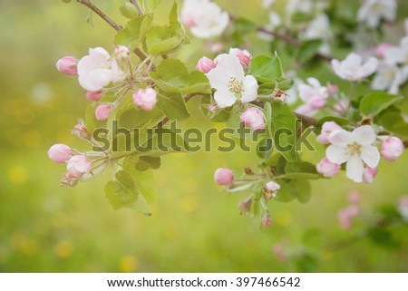 Blooming apple tree in spring time, apple blossom growing on a branch, sunlight, closeup - stock photo