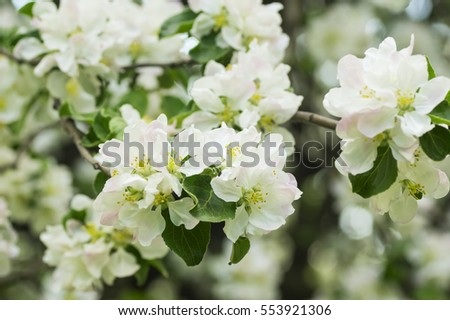 Blooming apple tree in the spring garden