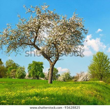 blooming apple tree on cloudy blue sky background. sunny spring day - stock photo