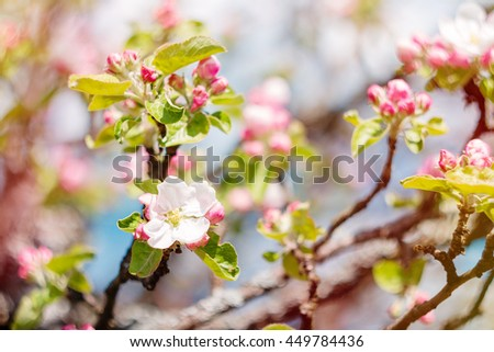 Blooming apple tree. Selective focus. Nature background - stock photo