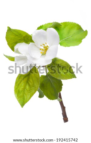 Blooming apple-tree twig isolated on white background - stock photo