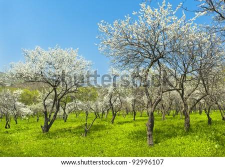 blooming apple trees garden - stock photo