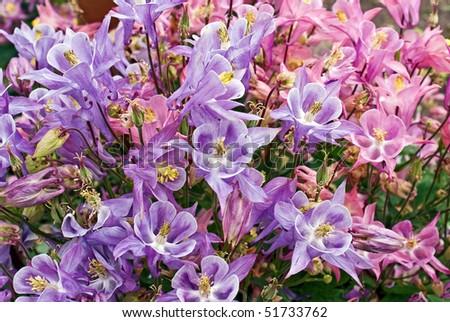 blooming aquilegia in garden - stock photo