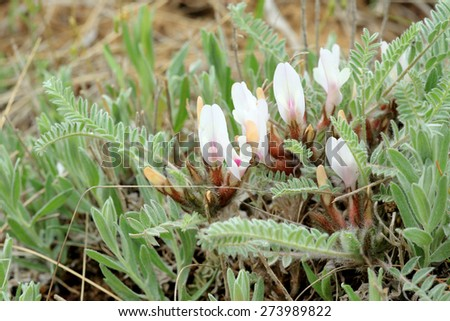 Blooming astragalus in the steppe on a hurricane, Rostov region, Russia. - stock photo