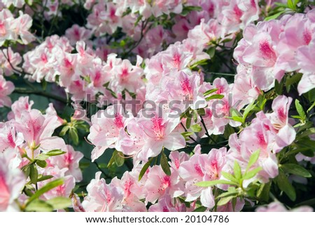Blooming Azalea (Rhododendron) in the traditional Chinese garden, Suzhou, China - stock photo