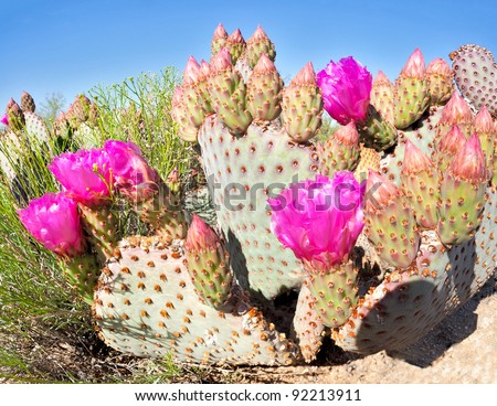 Blooming Beavertail Cactus in Mojave Desert. - stock photo