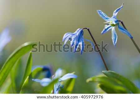 Blooming blue scilla (Scilla siberica) in early spring, close up. - stock photo