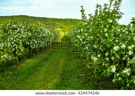 Blooming branch of apple tree in spring with a blue sky - stock photo