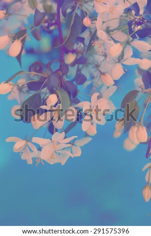 Blooming branch of cherry tree - stock photo
