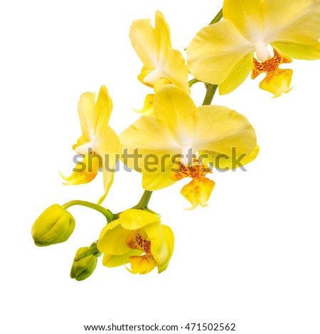 Blooming branch of yellow orchid is isolated on the white  background,  closeup