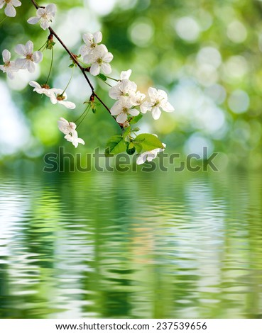 blooming branch over the water closeup - stock photo