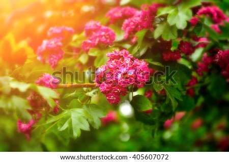Blooming branches of hawthorn tree - closeup of bright purple pink flowers lit by sunlight. Natural background.  - stock photo
