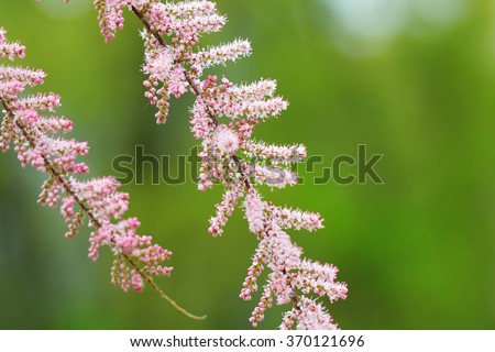 Blooming branches of Tamarix (tamarisk, salt cedar) in early summer - stock photo