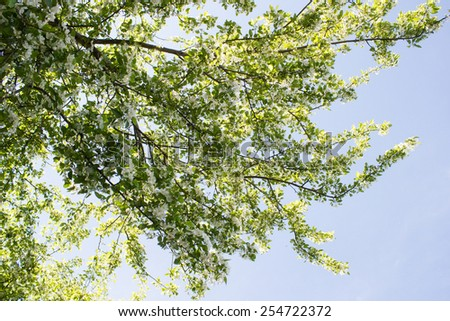 Blooming branches of the apple tree against the blue sky - stock photo