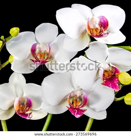 Blooming branches white and red orchid flower (phalaenopsis) with bud is  isolated on black background, closeup - stock photo