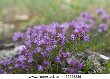 blooming Bush of thyme in mountain