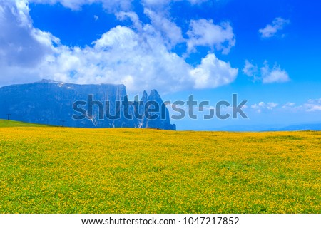 Blooming Buttercup flower meadow field in summer on Seiser Alm with Schlern Mountain as background, Dolomites mountain range, Italian alps, South Tirol, Trentino, Alto Adige, Italy.