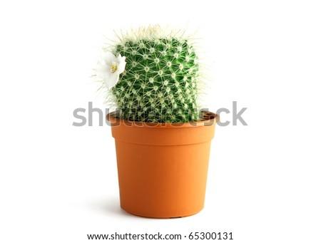 blooming cactus - stock photo