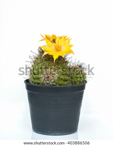 Blooming cactus in a pot on a black and white background. - stock photo