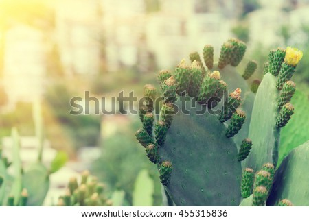 Blooming cactus with yellow flowers in a botanical garden, sunny - stock photo