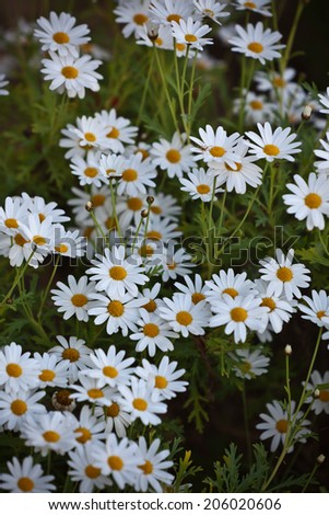 Blooming Camomile flowers at flowerbed. Vertical shot with selective focus - stock photo