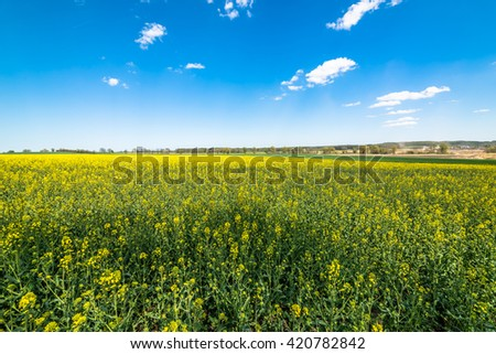 Blooming canola field landscape, blue sky on the horizon