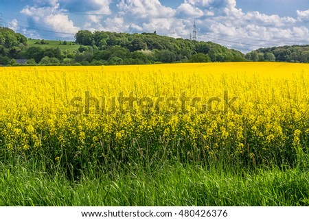 Blooming canola field with beautiful blue sky in the background.
