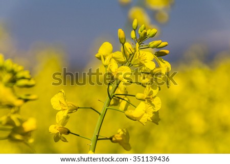 Blooming canola flowers close up with blooming oil seed rape field in the background.  - stock photo