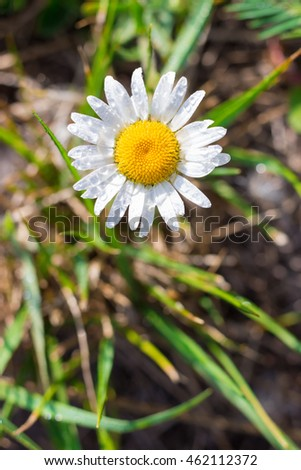 Blooming chamomile on green field
