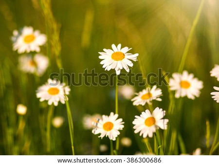 Blooming chamomiles field at the sunshine, shallow depth of field - stock photo