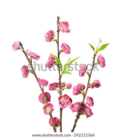 Blooming Cherry blossom flower on branch isolated on white background - stock photo