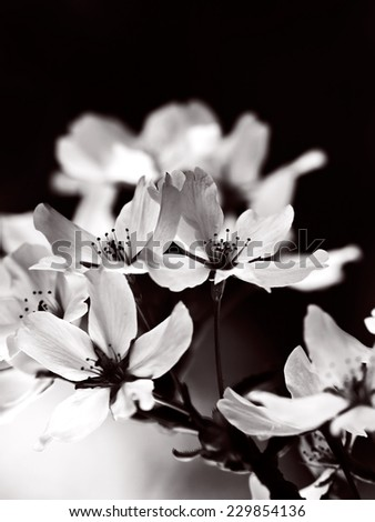Blooming cherry blossom flowers in monotone. Black and white cherry blossoms.  - stock photo