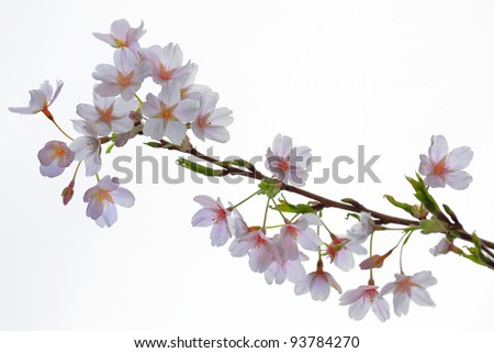 Blooming cherry branch against the white background.