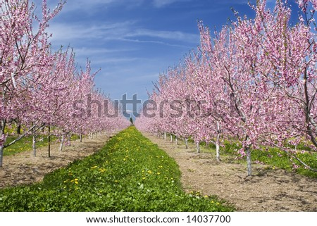 Blooming cherry orchard in Ontario, Canada - stock photo