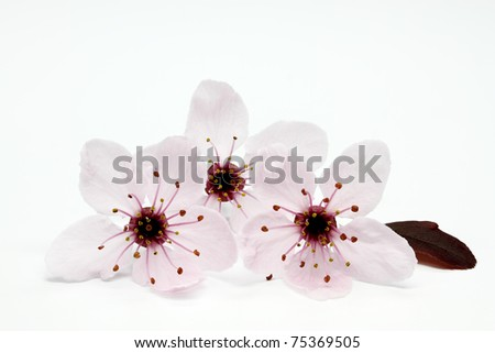 Blooming Cherry Plum or Myrobalan - stock photo