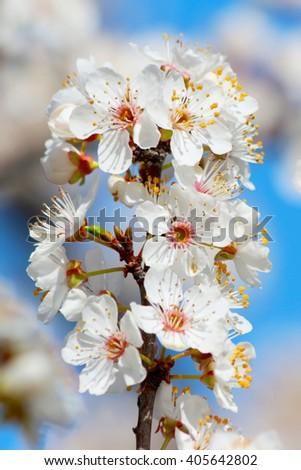 Blooming cherry plum tree in spring - stock photo