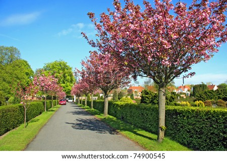 blooming cherry tree alley - stock photo