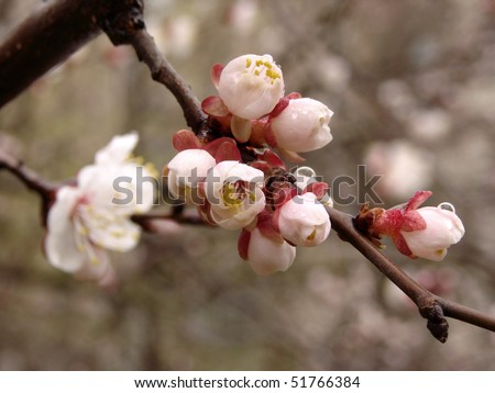 blooming cherry tree branch with flowers and buds
