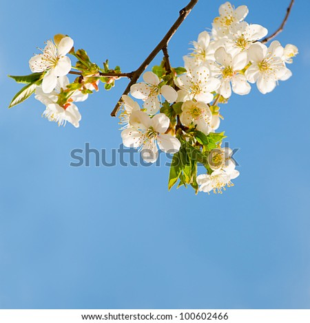 Blooming cherry tree branches with a blue sky - stock photo