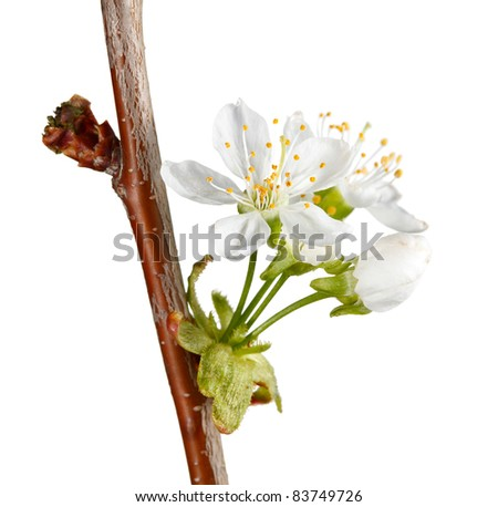 Blooming cherry-tree twig isolated on white - stock photo